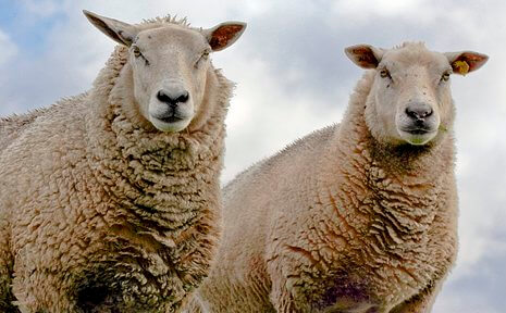 Victory! Sheep Decompression Studies Stopped