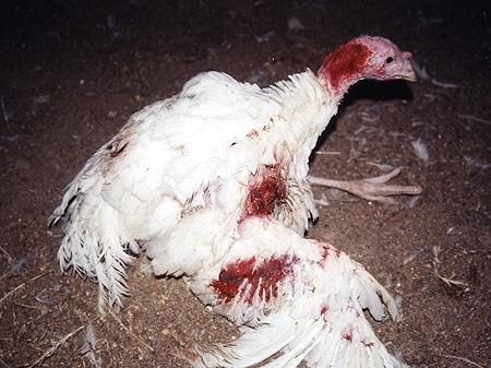 Turkey on factory farm