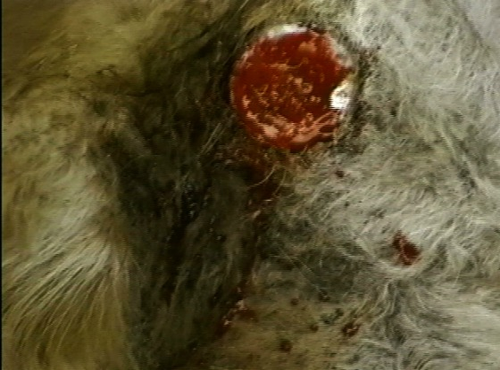close up of a dairy cow's dehorning wound