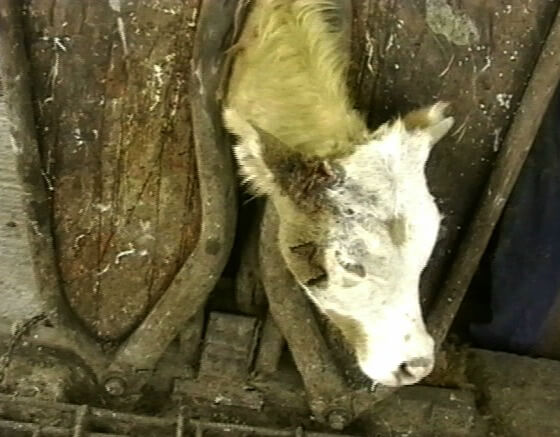 dehorned branded dairy calf