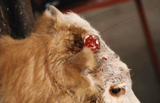 Dehorned dairy cow squirting blood