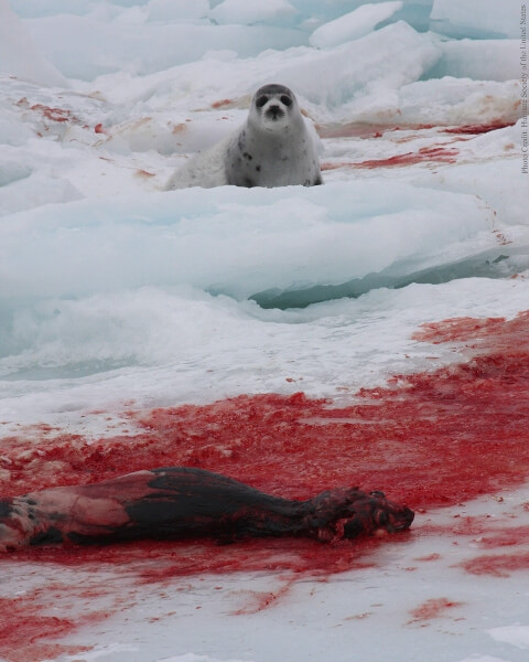 A baby seal looks out over the bloody corpse of a skinned seal in Canada