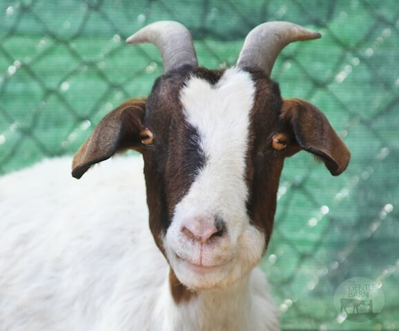 goat at sanctuary