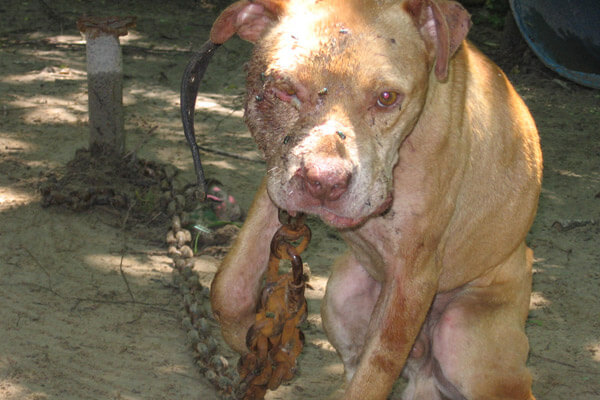Chained dog pit bull 1