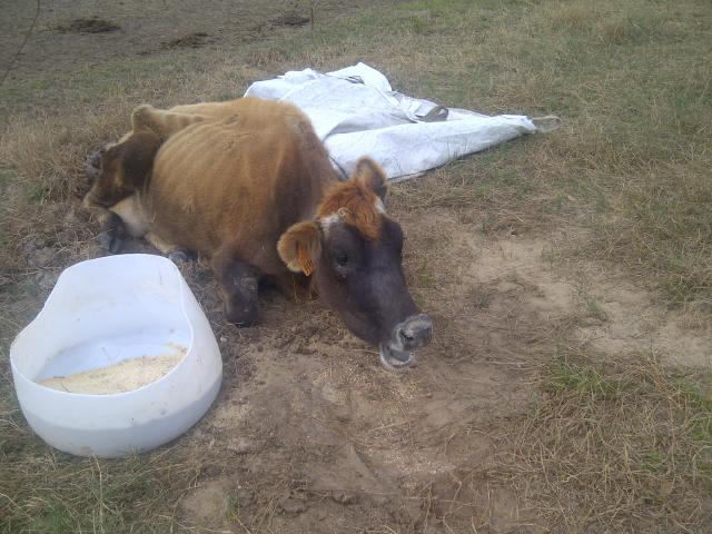 cow too weak to stand at abandoned dairy farm