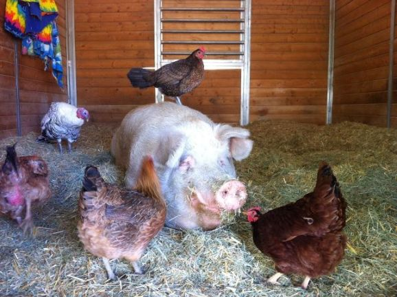 rescued pig with chickens
