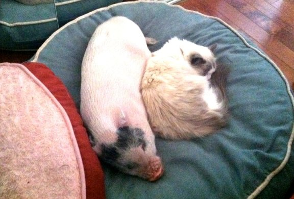 baby pig and cat sleeping