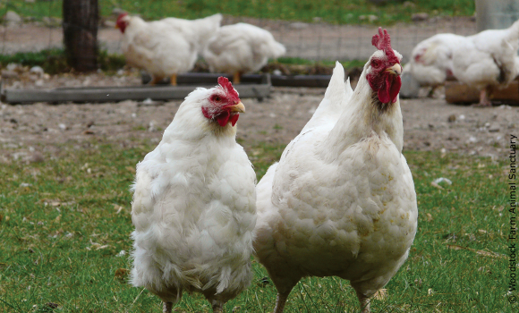 chickens Hannah and Janette from a kapporos investigation