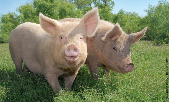 Pigs Marilyn and Madonna from University of Utah investigation
