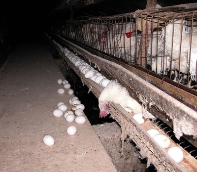 Caged hens in factory farm