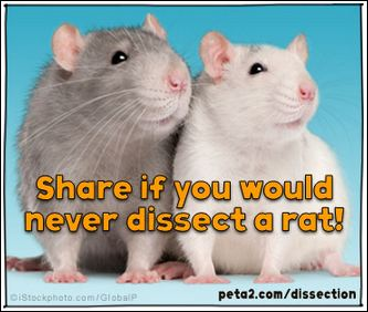 rat dissection shared image