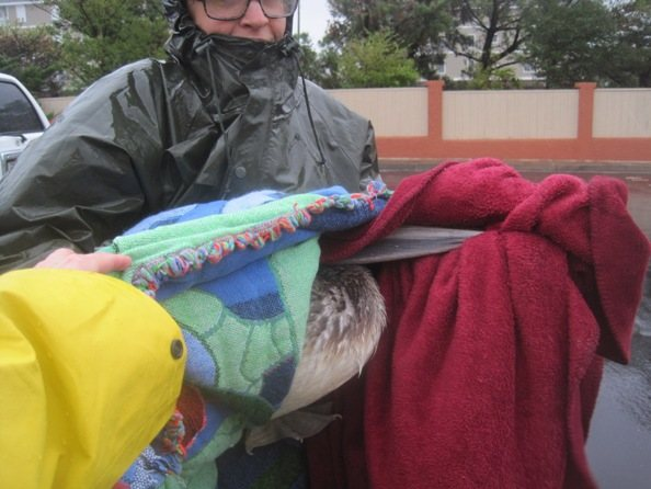 PETA rescues pelican from the hurrican Sandy storm