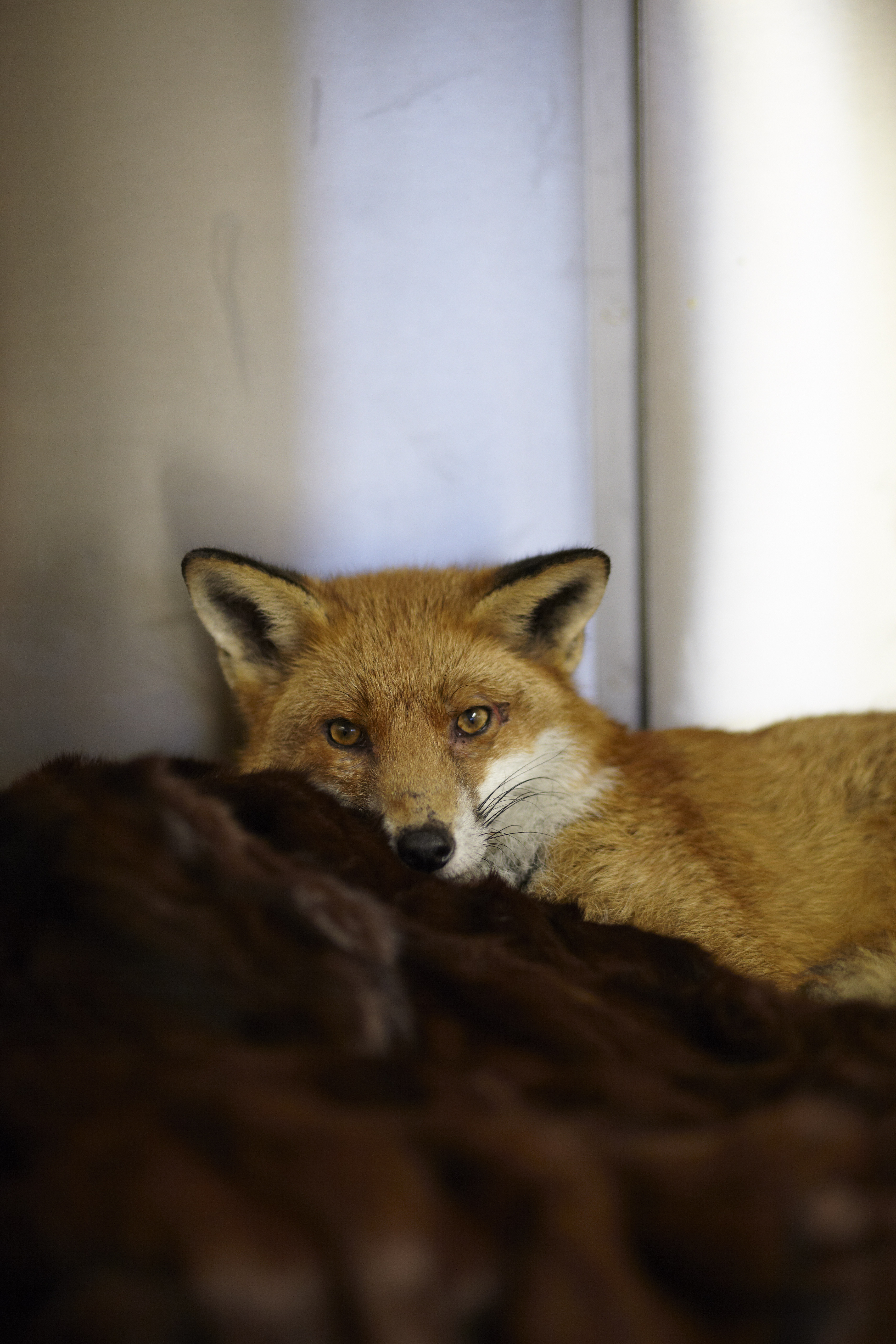 Orphaned baby fox rests in donated furs at a rescued group in Kent, UK