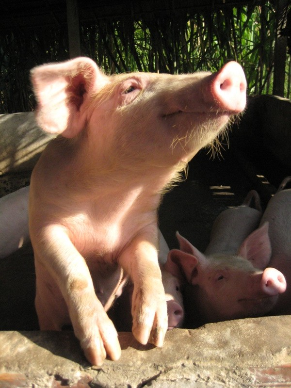 happy pig stretching in the sun outside