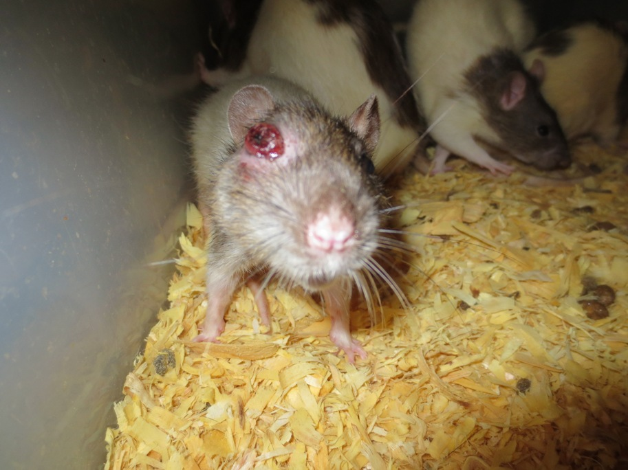 Rat With Abscessed Eye