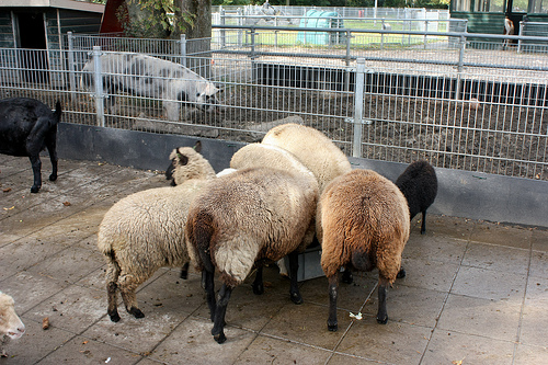 Sheep eating and showing their booties