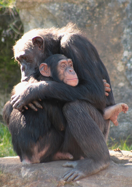 cute chimpanzees hugging
