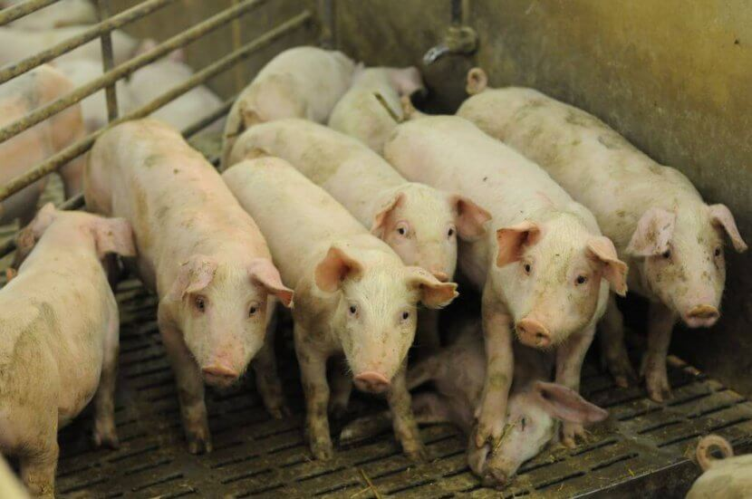 Pigs crowded in factory farm
