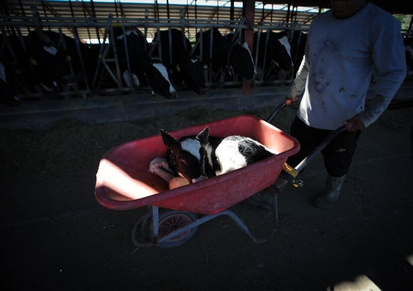 Baby taken away from mother cow