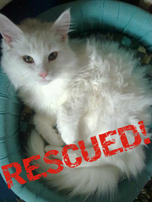 Rescued white cat submitted photo