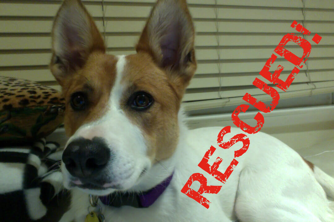 Rescued cattle dog submitted photo