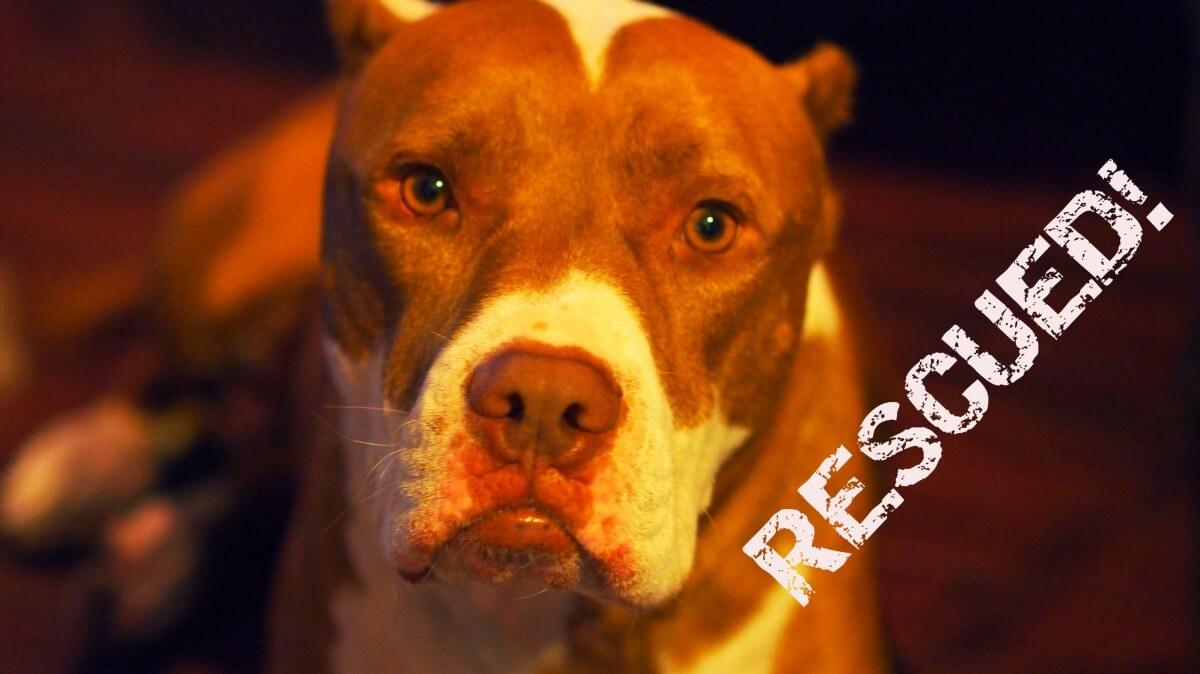 Rescued pit bull Bruce submitted photo