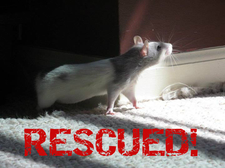 Rescued rat submitted photo