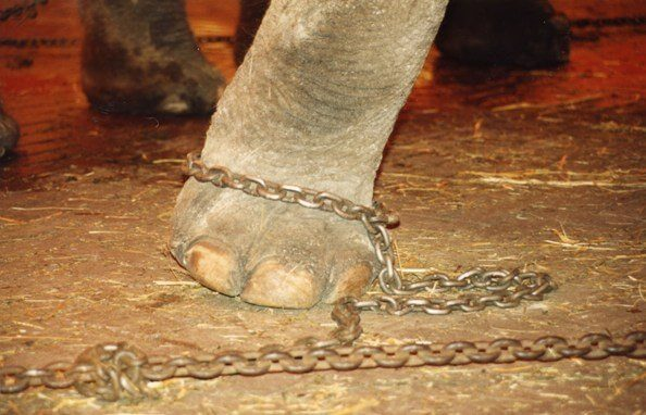 Animal Abuse Circus Abusive Tools Used in Circuses