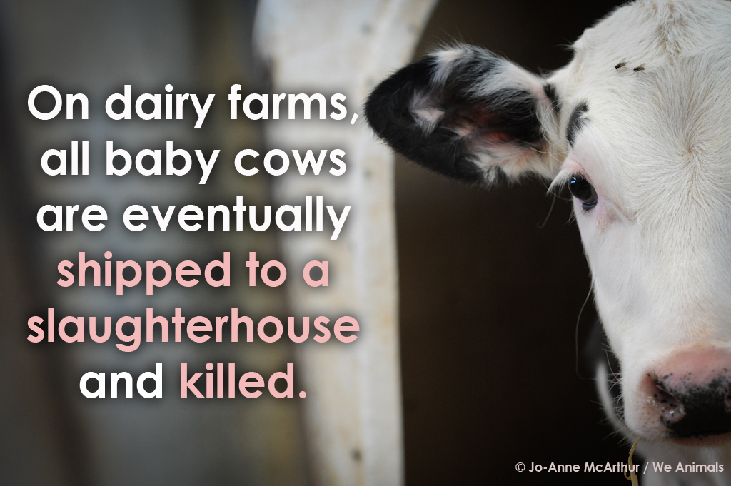 calves killed for veal on dairy farms