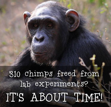 nih victory for chimpanzees