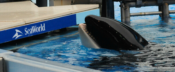 killer whale at SeaWorld