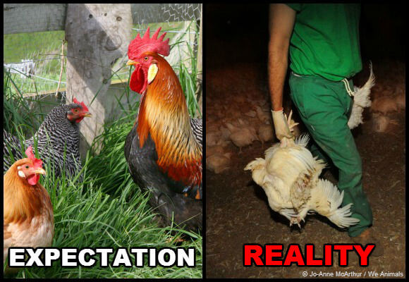 chickens on factory farms