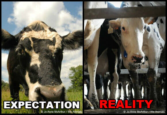 cows on factory farms