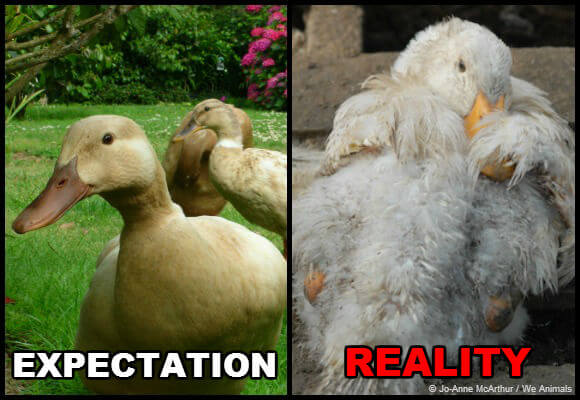 expectation-vs-reality-ducks