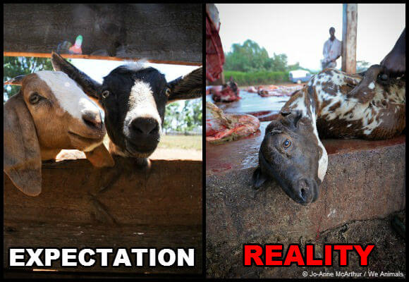 expectation-vs-reality-goats