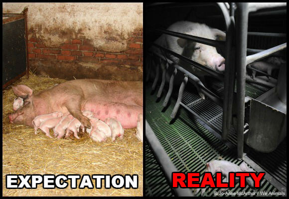 pigs on factory farms