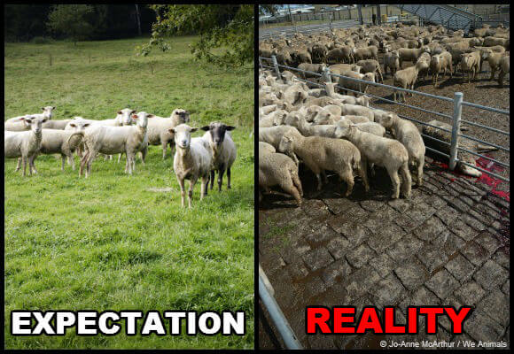 expectation-vs-reality-sheep