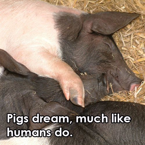 pigs-dream