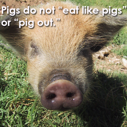 "Pigs don't ""eat like pigs"""