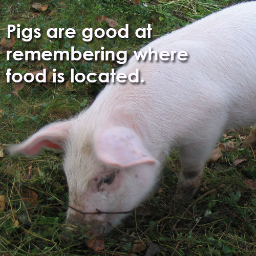 pigs-locating-food