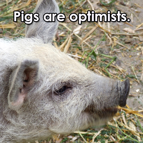 pigs-optimists