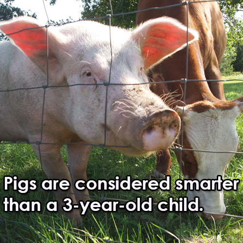 pigs are smart