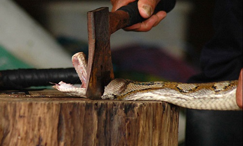 snake being decapitated with an axe