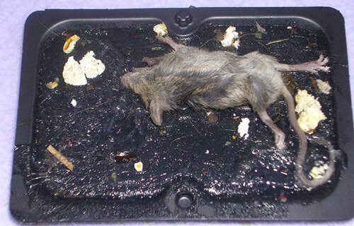 Glue traps are dangerous to human health—in fact, the Centers for Disease Control and Prevention (CDC) and Health Canada caution against their use.
