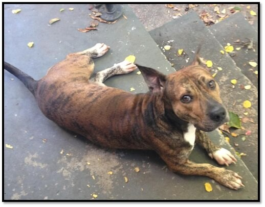 rescued pitbull sent to shelter peta cruelty investigation department october 2013