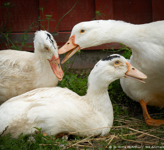ducks foie gras rescued