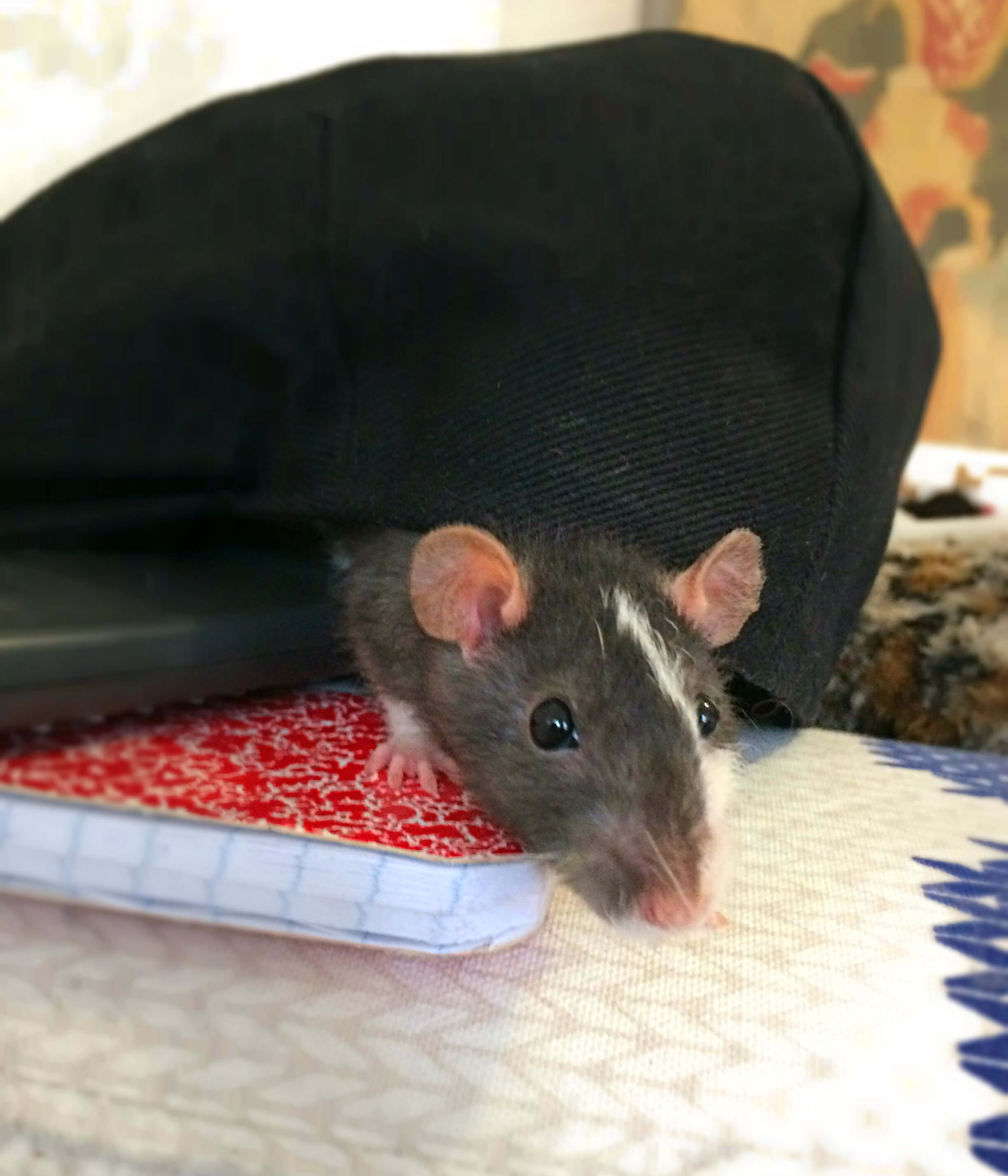 rescued rat from petco pet trade cute foster animal