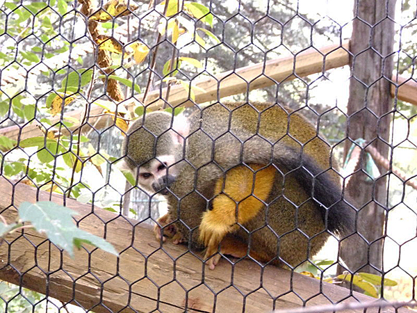 squirrel monkey lincoln childrens zoo