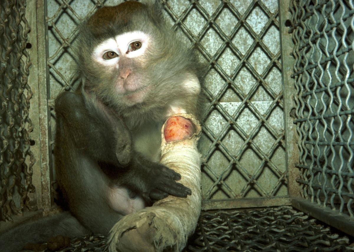 19 injured monkey in lab cage