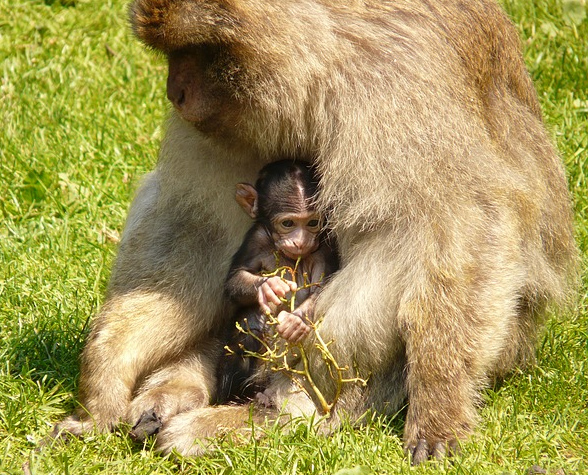 20 monkey mother and baby in grass